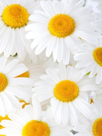 Beautiful marguerite flowers, blackground image Stock Photo - 13507970