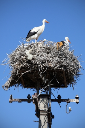 White storks in nest against blue sky photo