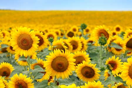 Beautiful sunflower field in summer Banco de Imagens - 14481835