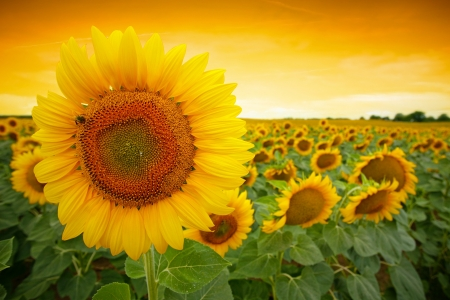 Sunflower field with dramatic sunset photo