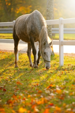 lipizzan horse: Lipizzan horse grazing in early autumn evening