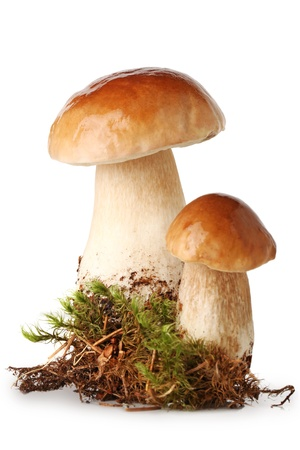 showpiece: Fresh ceps on  moss isolated on white Stock Photo