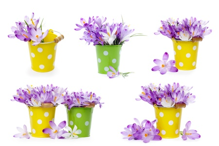 Crocus flowers in tin buckets, isolated on white Stock Photo - 18136605