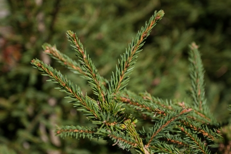 pinaceae: Close up of spruce branch in nature Stock Photo