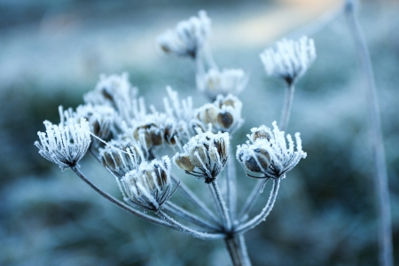 Frozen flower in the early morning light photo