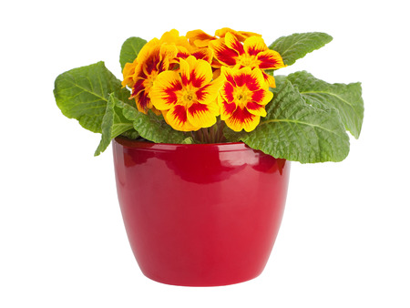 primulas: Yellow and red primrose in red pot isolated on white Stock Photo