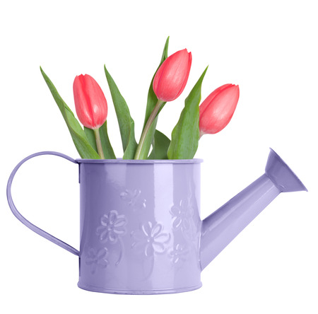 Pink tulips in purple watering can isolated on white photo