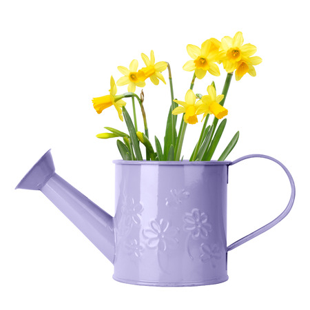 Daffodils in purple watering can isolated on white photo
