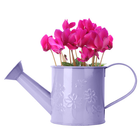 Cyclamen in purple watering can isolated on white photo