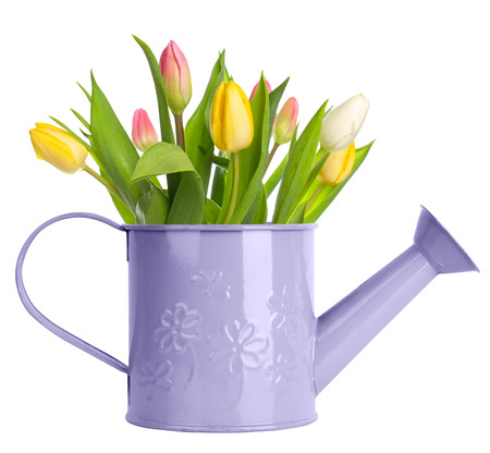Tulips in watering can isolated on white photo