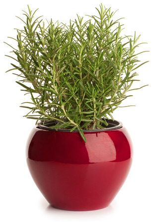rosemary flower: Rosemary in red flower pot isolated on white