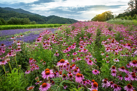 Echinacea and lavender field at sunset Stock Photo