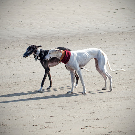 Two greyhound dogs on the beach photo