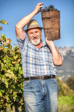 Senior Man Harvesting Grapes in the Vineyard photo