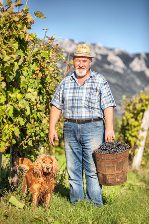 Senior Man with his dog Harvesting Grapes in the Vineyard photo