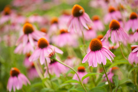 perennial plant: Coneflowers echinacea flower Stock Photo