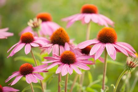 echinacea: Coneflowers echinacea flower Stock Photo
