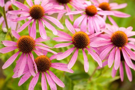 coneflowers: Coneflowers echinacea flower Stock Photo