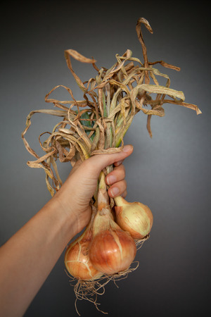 home grown: Home grown onions with leaves in female hand