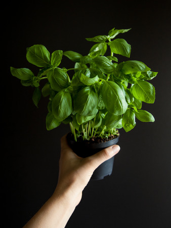 home grown: Home grown basil plant in female hand