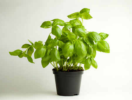 albahaca: Homwgrown planta de albahaca orgánica en maceta de plástico