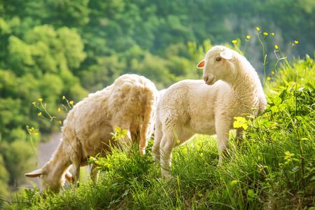 ovejas bebes: Hierba ovejas alimentación fuera en la hermosa naturaleza