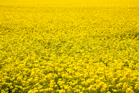 rappi: Field of rapeseed plant as natural yellow background