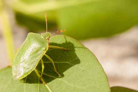 bugs: Green soldier bug is a stink bug belonging to the family Pentatomidae