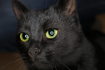 ring flash: Black cat with ring flash reflection in eyes Stock Photo