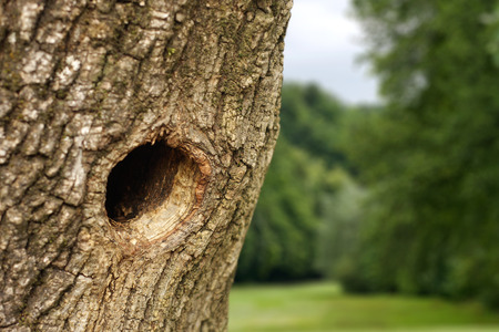 ocas: Nido de pájaro en el tronco del árbol hueco Foto de archivo