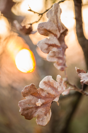 Close up of autumn oak leaves at sunset Stock Photo