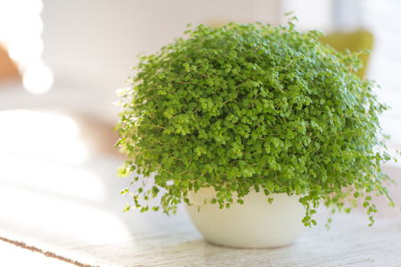 polly: Soleirolia soleirolii  green plant with many different common names Stock Photo