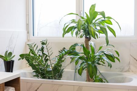 Watering and washing indoor plants in the bath 版權商用圖片