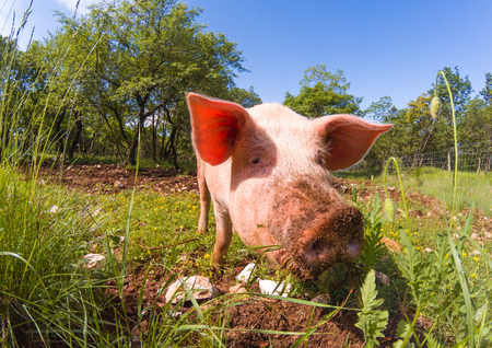 Cute pigs grazing at summer meadow under blue sky. Organic agriculture natural background