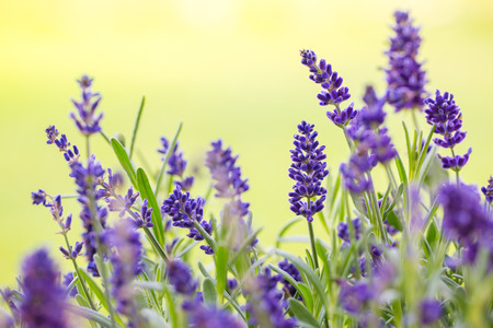 Close up of bunch of lavander flowers in blossom Stock Photo