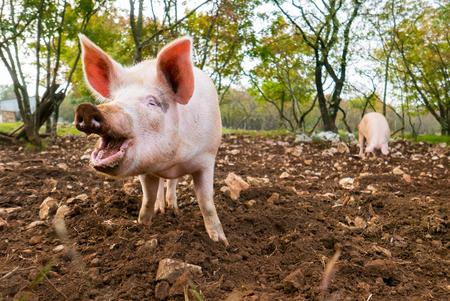 Free range pigs digging food in the dirt