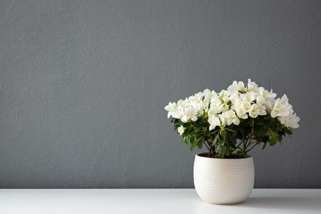 Azalea dwarf white  in white pot against gray wall 版權商用圖片