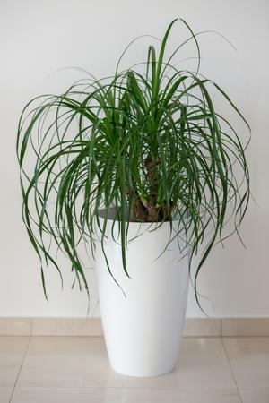 Ponytail palm houseplant in elegant white pot 版權商用圖片