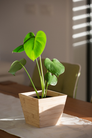 Philodendron split leaf monstera baby plant in wooden pot