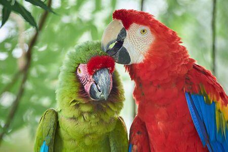 Love between two species of macaws