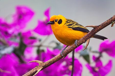 Golden tanager reposing on the tree branch with flowers background