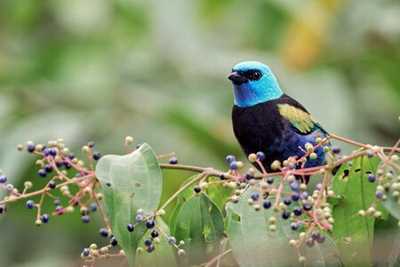 Colorful tanager feeding on fruits in a tree