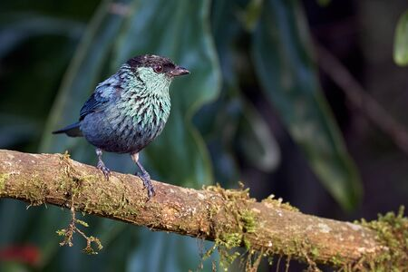 Small and beautiful blue tanager perched on a dry log.