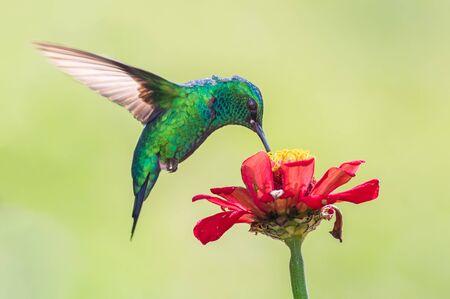 Beautiful hummingbird flying and feeding
