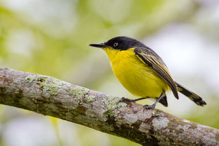 Yellow flycatcher in search of food on top of a tree