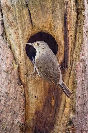 Wren bird entering its nest in a dead log