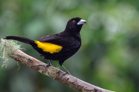 Black and yellow bird standing on a dried guava tree trunk