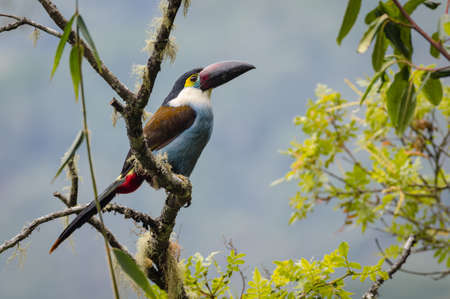Amazing and colorful toucan perched in a bush