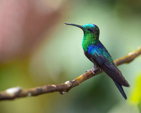 Side portrait of a green and purple hummingbird on a branch