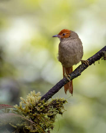Beautiful spinetail resting on a diagonal branch
